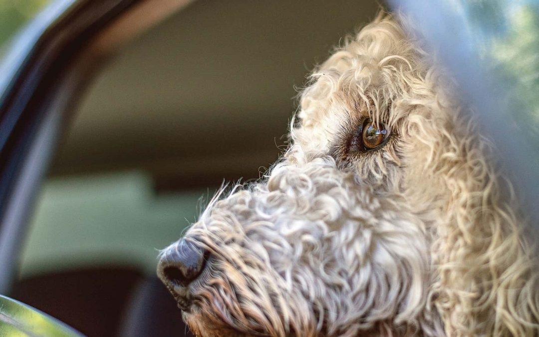 Driving Miss Doggy: Tips for Driving Safely With Your Dog