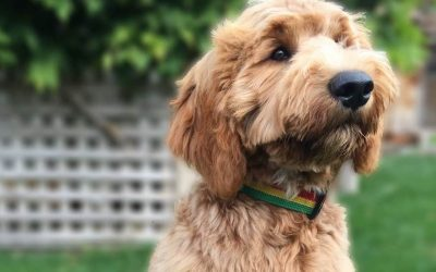 Goldendoodle History