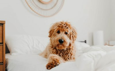 Potty Training with Instinct: Crate Training Your Doodle
