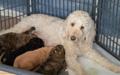 Should I Neuter or Spay My Goldendoodle?